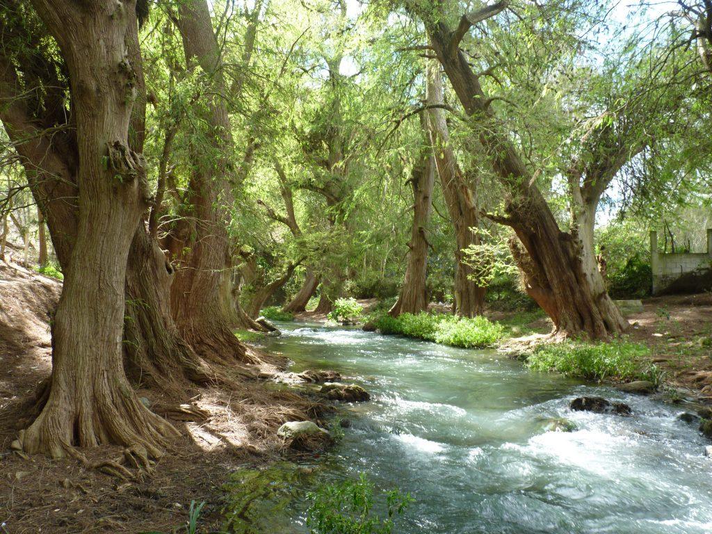 Ahuhuetes al interior del área natural protegida Cañón del Río Blanco