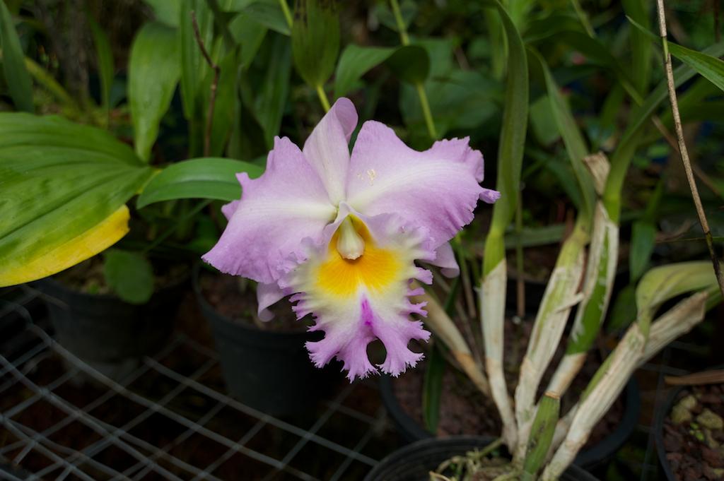 Las orquídeas mexicanas son uno de los grupos de plantas de mayor interés hortícola en los ámbitos nacional e internacional. Dado que no hay suficientes