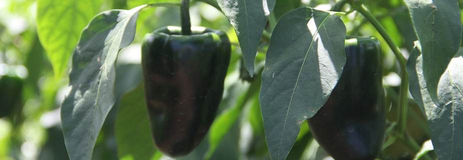 ic-Chiles
