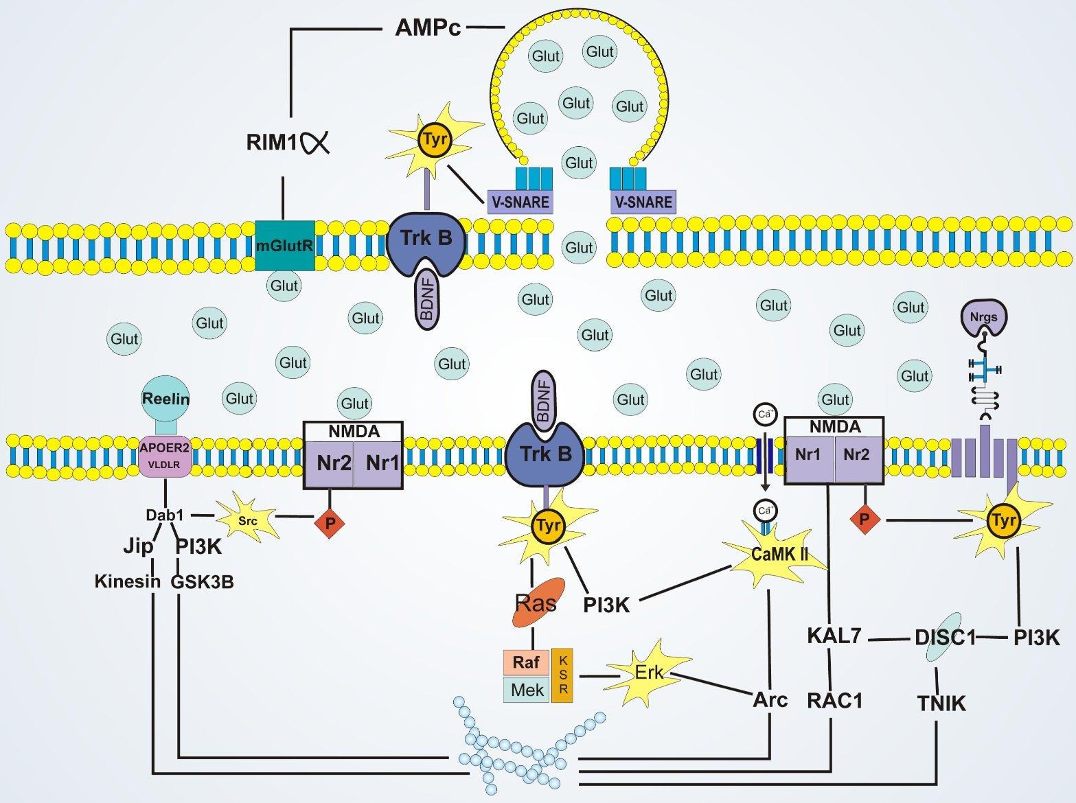 trasduzione del segnale ormoni steroidei