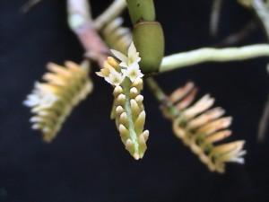 Campylocentrum micranthum_TK