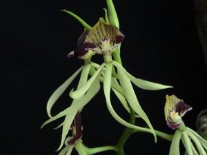 Encyclia cochleata THO 1904 flor_TK