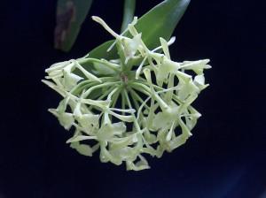 Epidendrum chlorocorymbos_TK