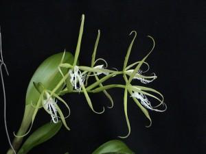 Epidendrum ciliare_TK