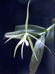 Epidendrum nocturnum_TK