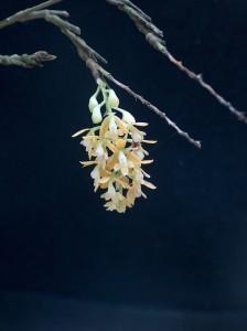 Epidendrum polyanthum THO 2107_TK