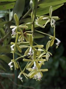 Epidendrum raniferum_TK