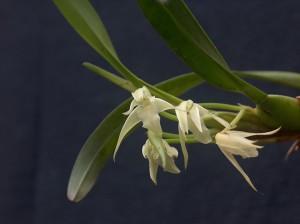 Maxillaraia anceps_THO 2756 flores_TK