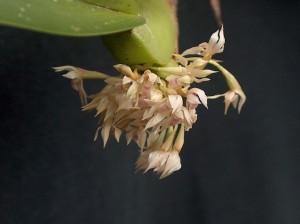 Maxillaria densa THO 2759 flores_TK