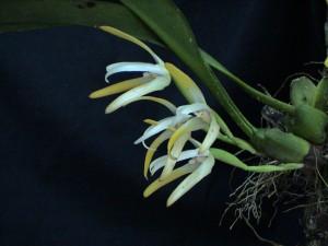 Maxillaria ringens_TK