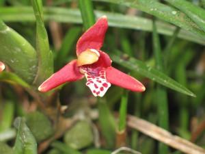 Maxillaria tenuifolia_TK