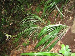 Pitcairnia recurvata