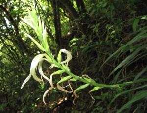 Pitcairnia recurvata_infl