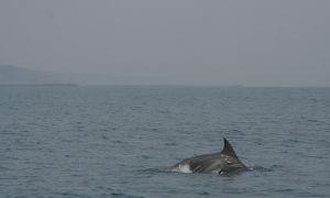 El objetivo de la investigación es describir cómo se comportan los delfines cuando interactúan con la pesca artesanal.