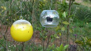 Estación de trampeo o dispensador de cebos tóxicos, que regula la plaga de la mosca de la fruta.