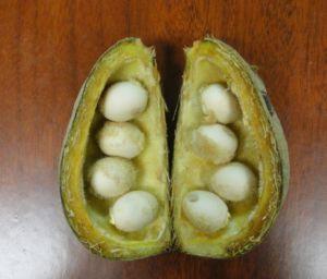En México, la planta Sterculia apetala  prolifera en los estados de Tabasco, Chiapas y Veracruz.