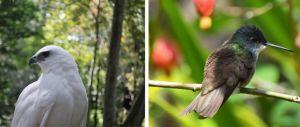 El halcón y el chupamirto son algunas de las especies de aves registradas en el estado