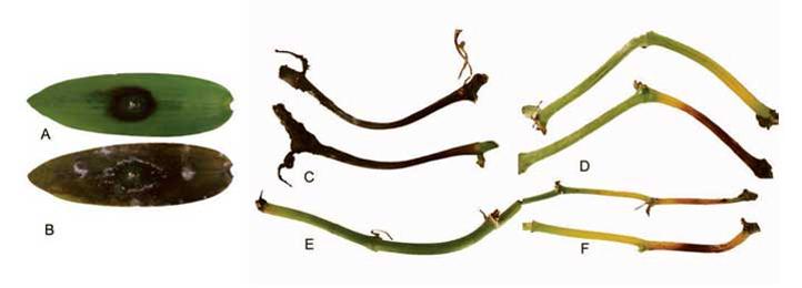 El hongo Fusarium oxysporum ocasiona infecciones en personas y animales (Imagen: Adame-García et al., 2015)