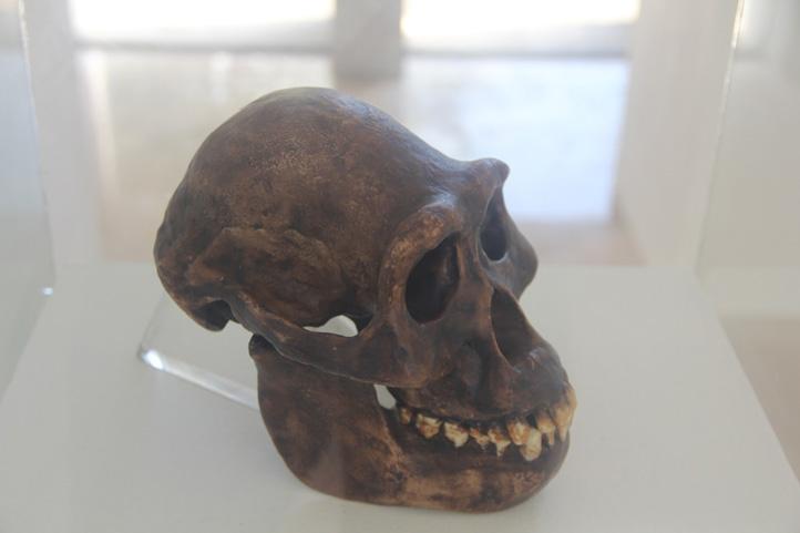 Cráneo de Australopithecus