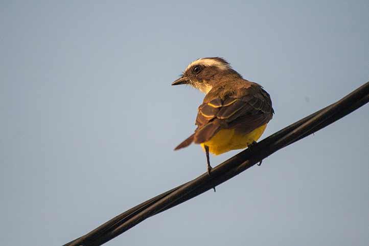 Pitangus sulphuratus, una de las aves más comunes en la ciudad