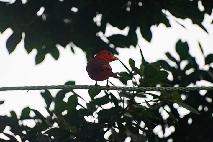 <em>Piranga rubra</em>, de la familia de los cardenales, es migratoria y se le observa en invierno