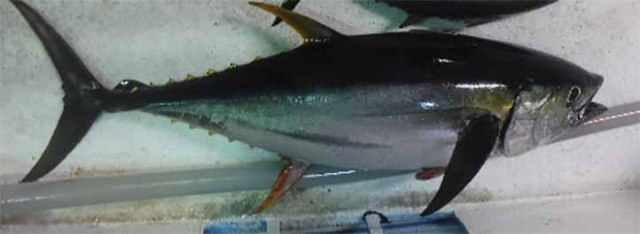 El estudio de tesis propone la veda del atún para el Golfo de México