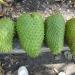 La guanábana es la que más se cultiva en el país
