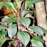Peperomia pariastriata