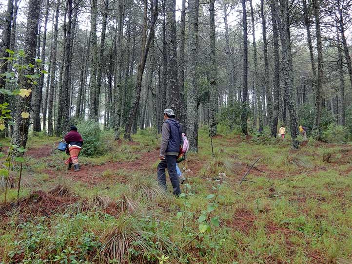 La recolección se lleva a cabo en temporada de lluvias